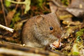 Flora and fauna – the field vole