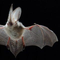 Bat Man !