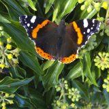 Flora and fauna – Admiral