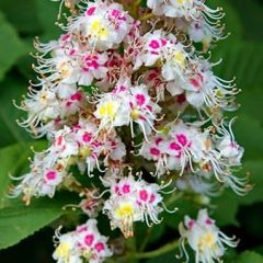 Flora and fauna – Horse chestnuts