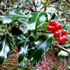 Flora and fauna – the holly and the ivy