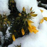 Flora and fauna – Gorse