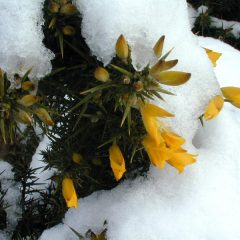 Flora and fauna – Gorse