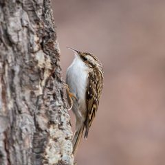 Flora and fauna – the tree creeper