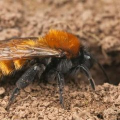 Flora and fauna : mining bees