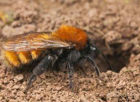 Flora and fauna : mining bees