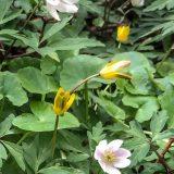 Flora and fauna – Wood anemone