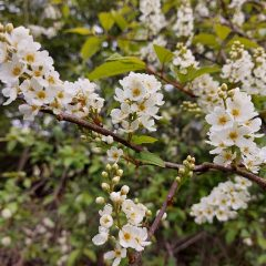 Flora and fauna – Bird Cherry