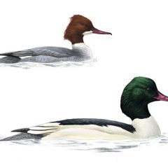 The diving Goosander – flora and fauna