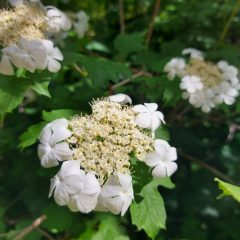Flora and fauna – the Guelder rose
